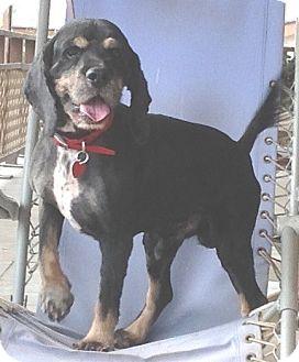 Cocker Spaniel Dog for adoption in Santa Barbara, California - Oscar