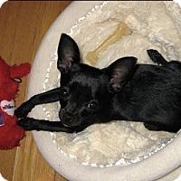 Adopt A Pet :: Louie - Nanuet, NY