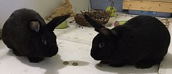 American Mix for adoption in Moneta, Virginia - Raven and Sable