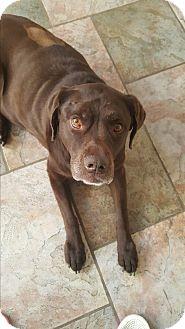 Labrador Retriever Mix Dog for adoption in Evergreen, Colorado - Hannah