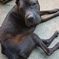 Shar Pei Mix Dog for adoption in Olive Branch, Mississippi - Jay