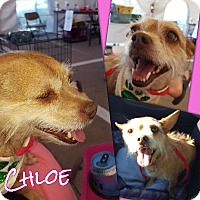 Adopt A Pet :: Chloe - Weatherford, TX
