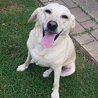 Adopt A Pet :: Phoebe - Frisco, TX