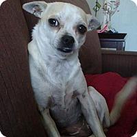 Adopt A Pet :: Lolita - Albuquerque, NM