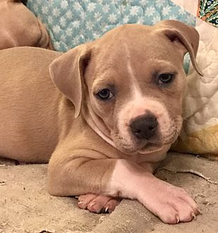 Boston Terrier/Terrier (Unknown Type, Medium) Mix Puppy for adoption in ST LOUIS, Missouri - Magnolia