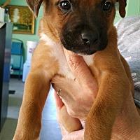 Adopt A Pet :: Puppy #3 - Creston, CA