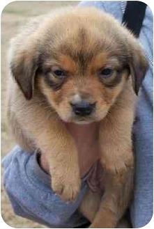 Golden Retriever/Shepherd (Unknown Type) Mix Puppy for adoption in Franklin, Virginia - Maddie