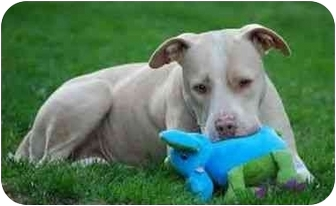 American Pit Bull Terrier Mix Dog for adoption in Bakersfield, California - Cookie