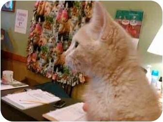 Domestic Shorthair Kitten for adoption in Erie, Pennsylvania - Nick