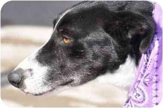 Border Collie Dog for adoption in San Angelo, Texas - Bonnie