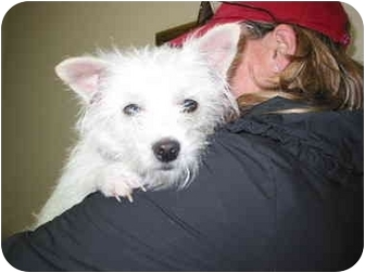 Westie, West Highland White Terrier Puppy for adoption in Frisco, Texas - Oliver