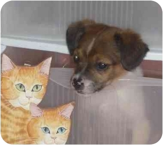 Chihuahua/Beagle Mix Puppy for adoption in Cherry Hill, New Jersey - Panini
