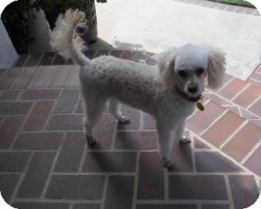 Poodle (Miniature) Dog for adoption in Tustin, California - Gidget