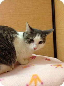 Domestic Shorthair Kitten for adoption in Modesto, California - Larry
