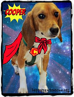 Beagle Dog for adoption in South Plainfield, New Jersey - Super Cooper!