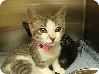 Domestic Shorthair Kitten for adoption in Casa Grande, Arizona - Ashby