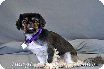 Pekingese Dog for adoption in Oklahoma City, Oklahoma - Sofia