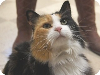 Domestic Longhair Cat for adoption in Libby, Montana - Maddy