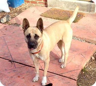 German Shepherd Dog/Shiba Inu Mix Dog for adoption in Rockville, Maryland - Honey