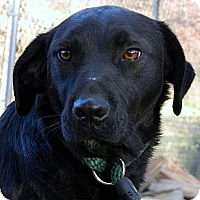 Labrador Retriever Mix Dog for adoption in Centerville, Tennessee - Shine