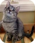 Domestic Shorthair Kitten for adoption in Livonia, Michigan - Odette