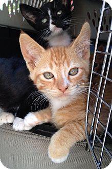 Domestic Shorthair Kitten for adoption in Irvine, California - Chesney