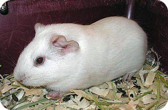 Guinea Pig for adoption in Colorado Springs, Colorado - Weiss