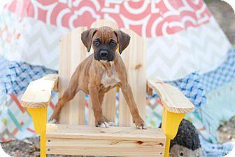 Boxer Puppy for adoption in Auburn, California - Bailey