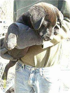 Corgi/Spaniel (Unknown Type) Mix Puppy for adoption in South Burlington, Vermont - Nola