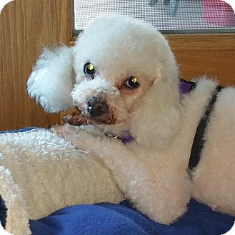 Bichon Frise Mix Dog for adoption in Fountain Valley, California - Maya