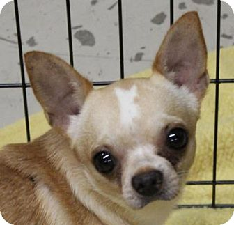Chihuahua Dog for adoption in Atlanta, Georgia - Monkey