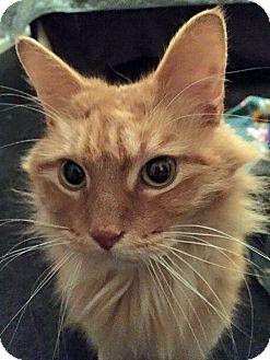 Domestic Mediumhair Cat for adoption in Troy, Michigan - Orlando