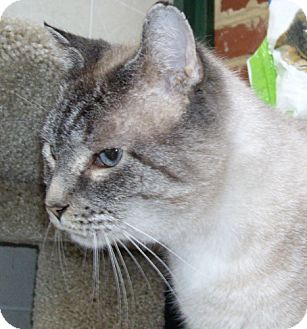 Siamese Cat for adoption in Lovingston, Virginia - Magnum