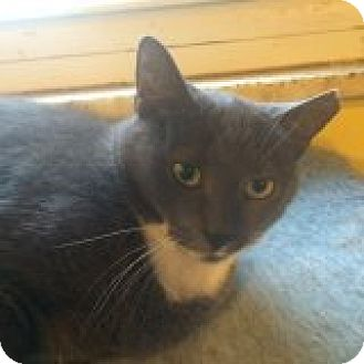 Domestic Shorthair Cat for adoption in Delmont, Pennsylvania - Maisy