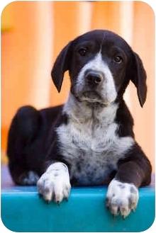 Pointer Mix Puppy for adoption in Portland, Oregon - Hank