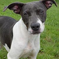 Pointer Mix Dog for adoption in Trenton, Missouri - Sookie