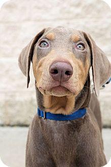Doberman Pinscher Mix Puppy for adoption in Toledo, Ohio - Kenya