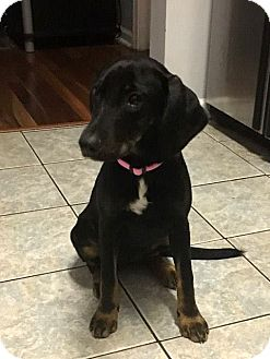 Plott Hound/Beagle Mix Dog for adoption in Jacksonville, Florida - Ginger Rogers