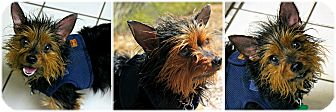 Yorkie, Yorkshire Terrier Mix Dog for adoption in Forked River, New Jersey - Pete