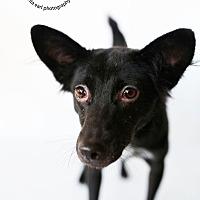 Adopt A Pet :: Venus - Sherman Oaks, CA