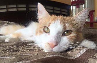 Domestic Mediumhair Cat for adoption in Fort Lauderdale, Florida - Apollo Rain