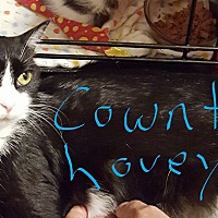 Adopt A Pet :: Cowntess Lovey - Overland Park, KS