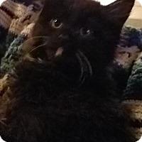 Domestic Longhair Kitten for adoption in Sheboygan, Wisconsin - Herbie