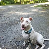 Adopt A Pet :: Rosey - Media, PA