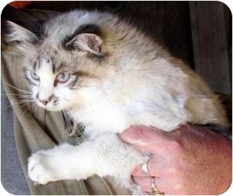 Ragdoll Cat for adoption in Providence, Rhode Island - Randy