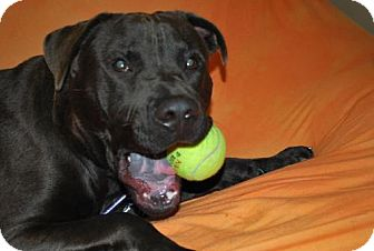 Labrador Retriever Mix Dog for adoption in Huntington, New York - Thomas
