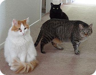Domestic Mediumhair Cat for adoption in Los Angeles, California - TJ