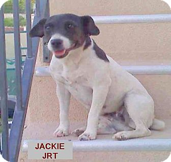 Jack Russell Terrier Dog for adoption in Apple Valley, California - Jackie