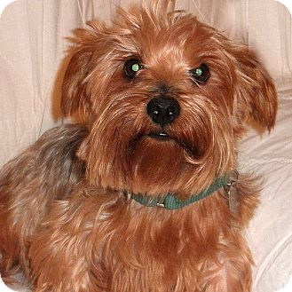 Yorkie, Yorkshire Terrier Mix Dog for adoption in Columbia, Illinois - Misty