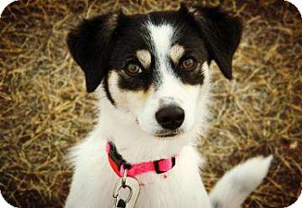Terrier (Unknown Type, Medium)/Australian Shepherd Mix Dog for adoption in Cheyenne, Wyoming - Madeline